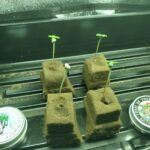Germinating-cannabis-seeds