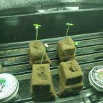 Germinating-cannabis-seeds