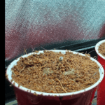 auto flower germinating