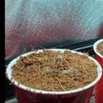 auto flower germinating