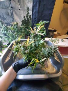 bouque of cannabis flowers